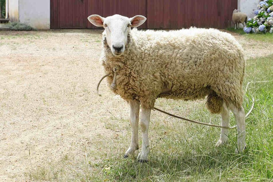 Das Schaf starb nach einer Misshandlung (Symbolbild).