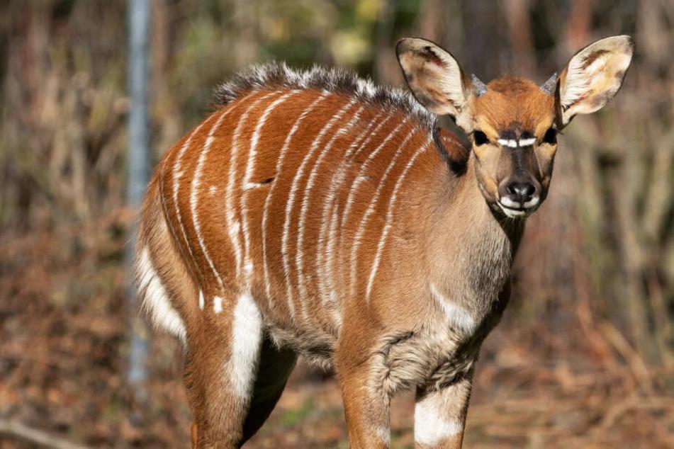 Dresdner Zoo: Bock soll einmal fünf Damen beglücken!