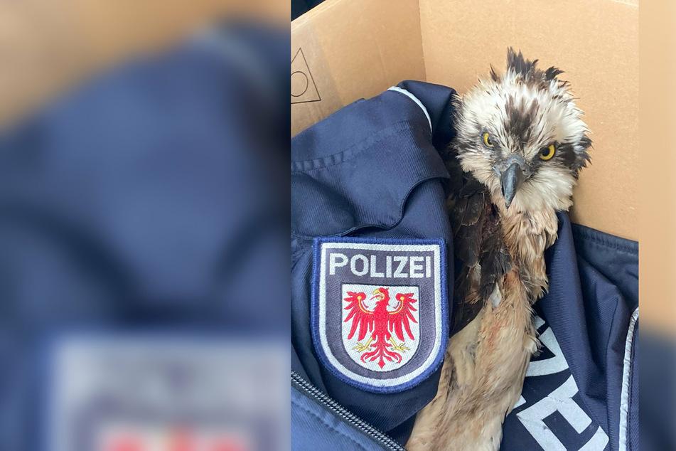 Adler-Alarm in Ostprignitz-Ruppin: Polizeistreife rettet verletzten Greifvogel