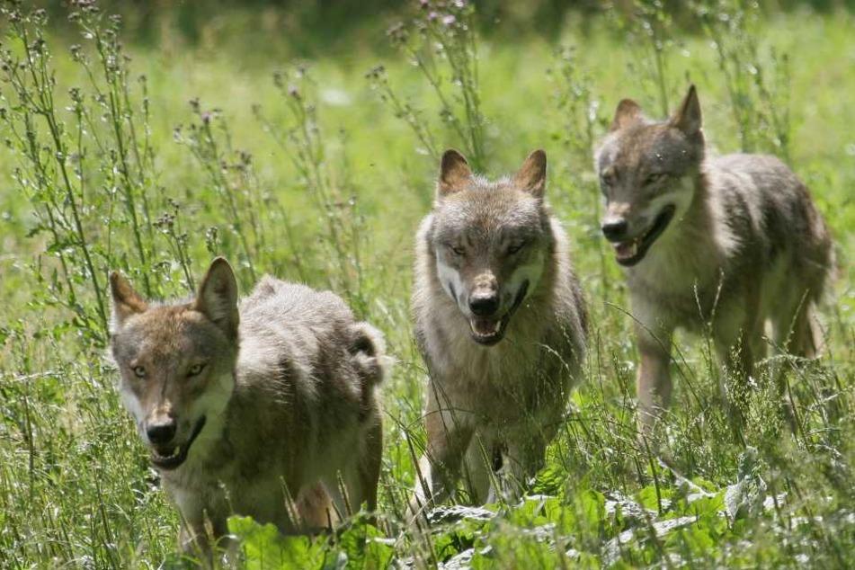 Auch sie gehören inzwischen fest zu Sachsen. Am 1. Juni wollen Experten, Politiker und Bürger erstmals gemeinsam über den Wolf im Freistaat reden.