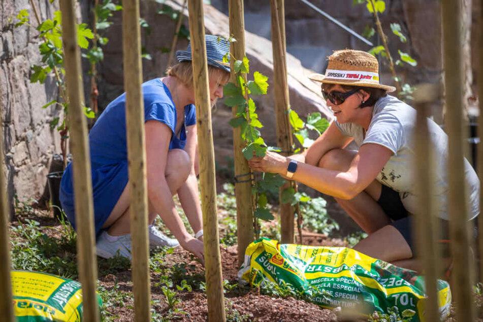 Diana Mader-Schumann (53, l.) und Manja Herrmann (43) helfen beim Pflanzen der letzten 100 Rebstöcke.