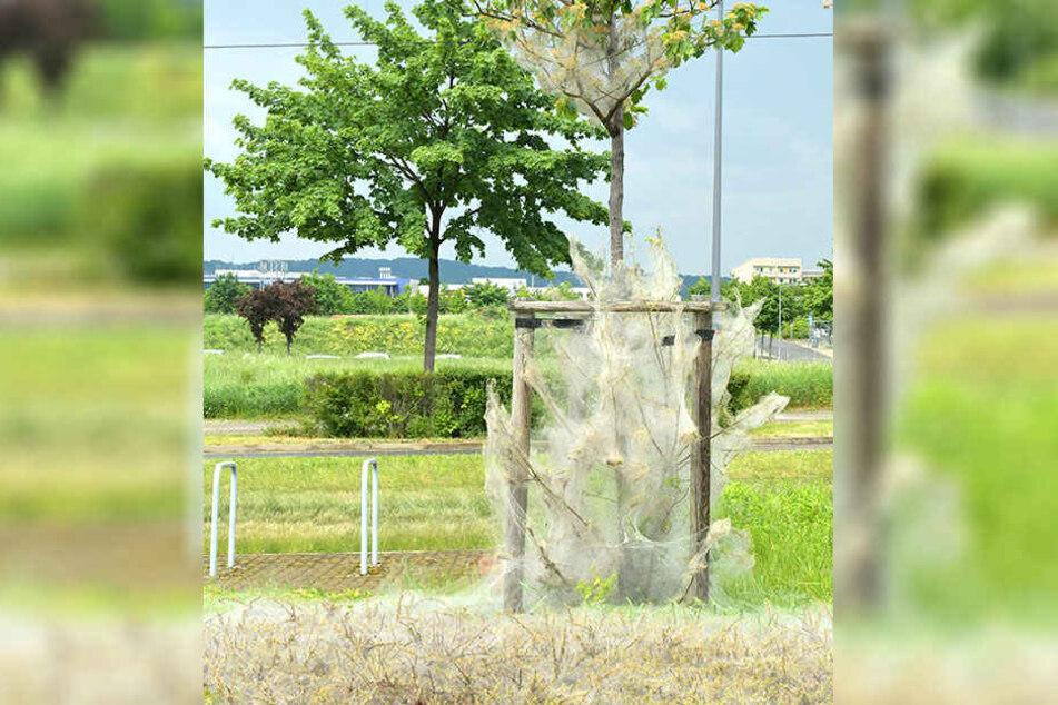 Aus Grün wird Grau: Auch neben dem Elbepark (Haltestelle An der Flutrinne) haben die Raupen Wiese und Baum eingehüllt.