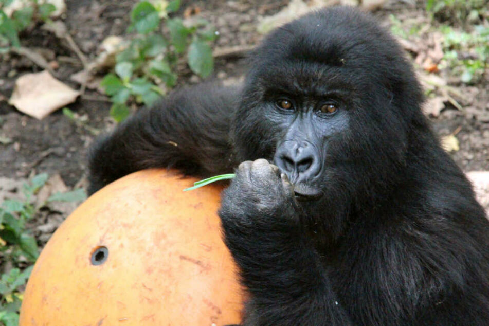 Blitzschlag kostet seltene Affen offenbar das Leben