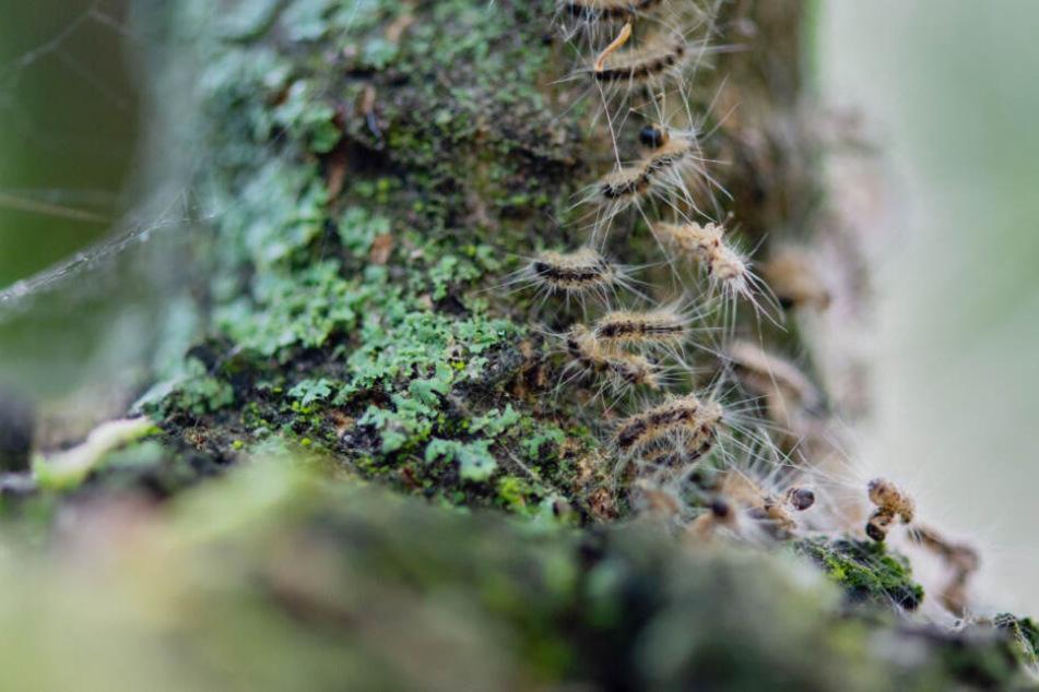Eichenprozessionsspinner kriechen in ihrem Nest.