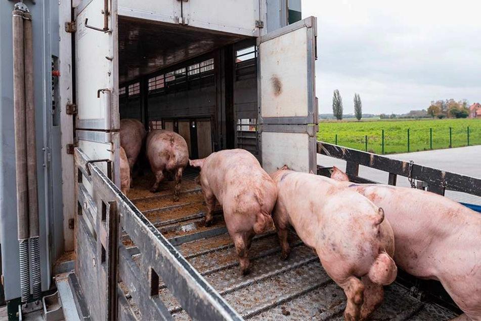 Während einzelner Wachstumsphasen werden die Schweine von einem Stall in den anderen gekarrt.