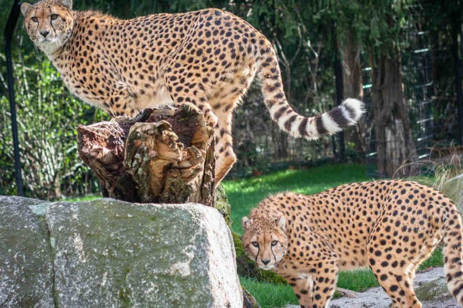 Neue Geparden-Attraktion in der Wilhelma in Stuttgart