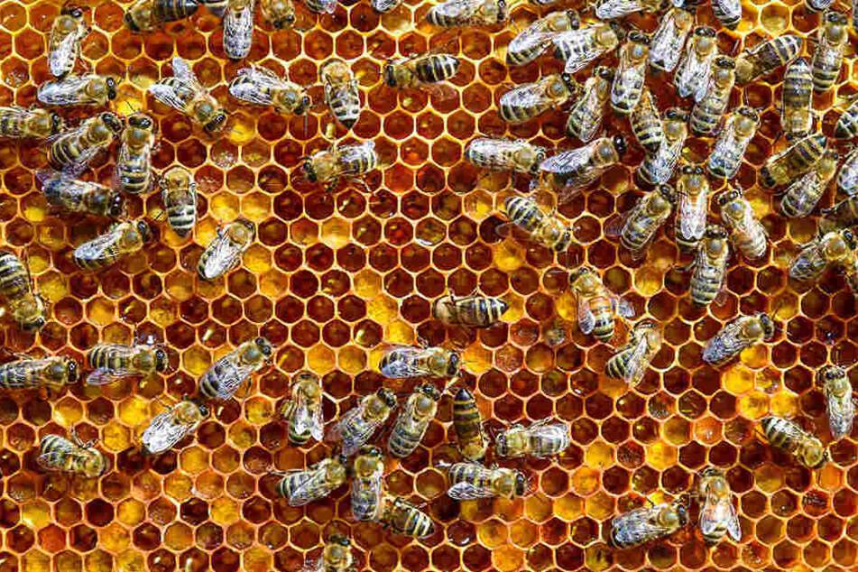 Rund 40 Bienenvölker wurden in der Nähe von Schkeuditz (Nordsachsen) gestohlen. Der Schaden beläuft sich auf über 10.000 Euro (Symbolbild).