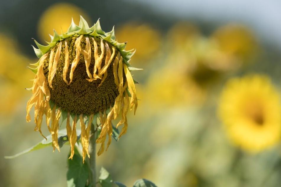 Da lässt selbst die Sonnenblume den Kopf hängen: Nie war es weltweit heißer als im letzten Juli.