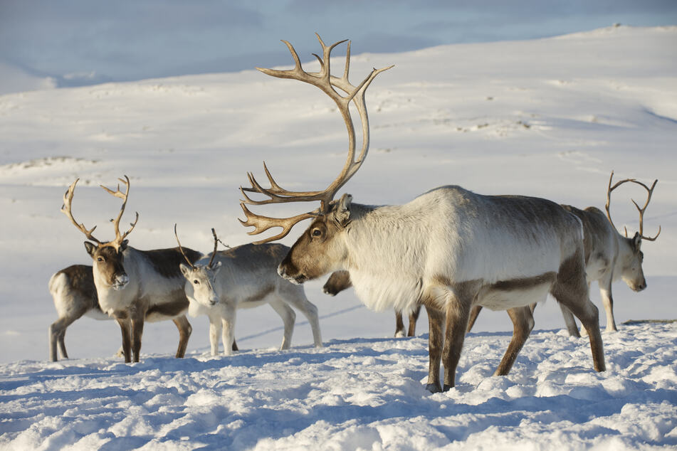 Zombie disease resurrected in Norwegian reindeer