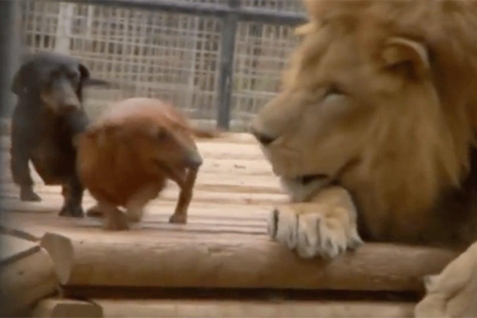 Unlaublich! Zwei Dackel gehen auf Löwen los