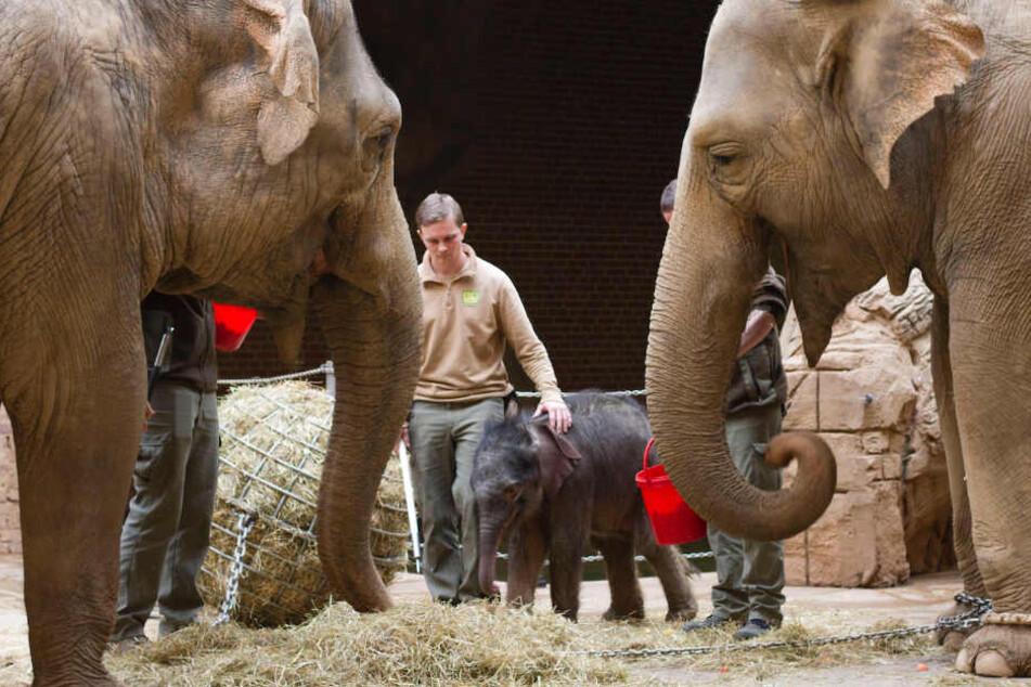 Leipzig: Anspannung im Leipziger Zoo: Elefantenkuh noch immer nicht an Baby gewöhnt