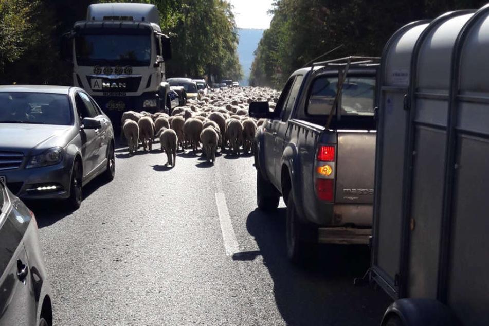 Plötzlich wurde eine Schafherde auf die Straße getrieben.