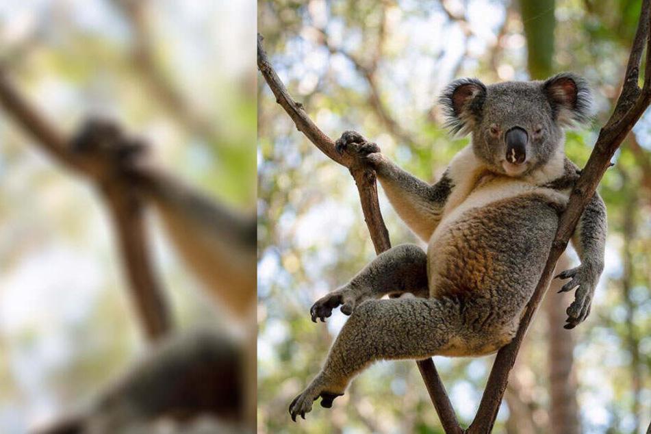 Darum ist dieser Koala so beliebt im Netz