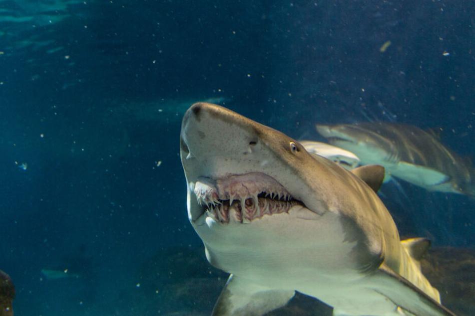 Menschliche Überreste sind in einem Tigerhai entdeckt worden. (Symbolbild)