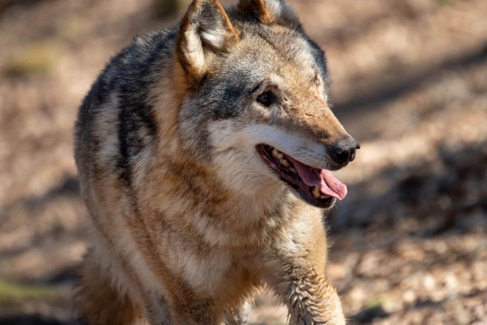 In NRW können Wölfe ebenfalls auftauchen. Zwei wurden bislang nachgewiesen.