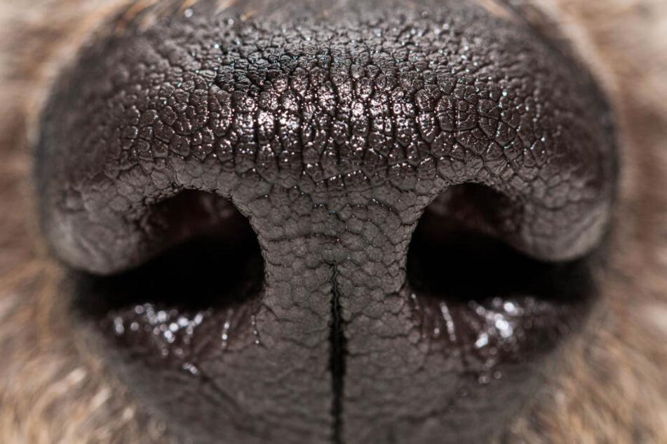 Es ist erstaunlich, was Nasen von Hunden alles können.