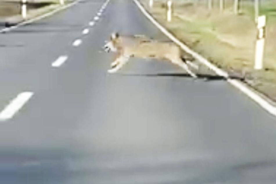 Am helllichten Tage! Hier rennt ein riesiger Wolf über die Straße