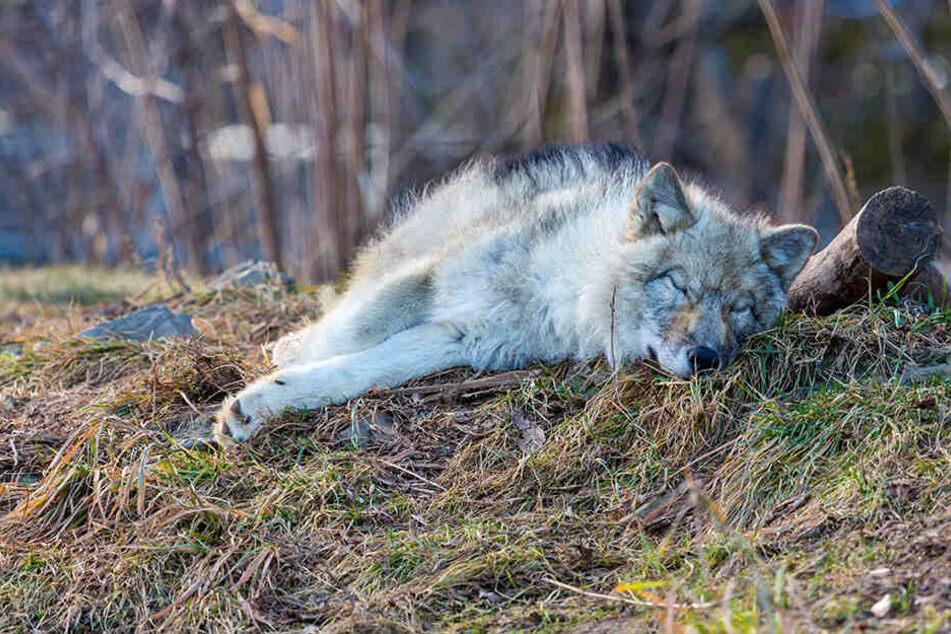 Der Wolf habe Verletzungen aufgewiesen. (Symbolbild)