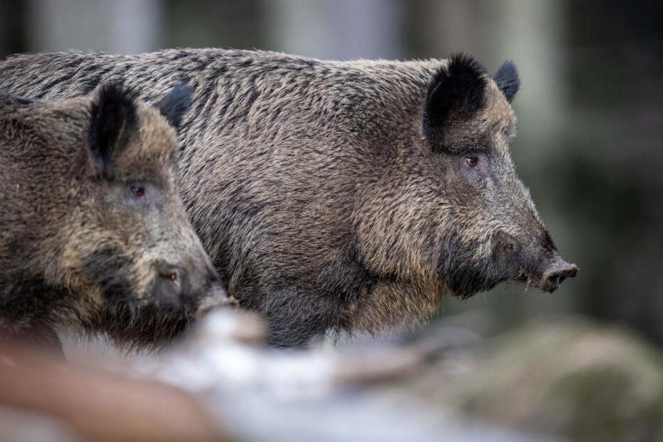 Zwei Wildschweine stehen auf einem Plateau im Wald und beobachten die Umgebung. (Archiv)