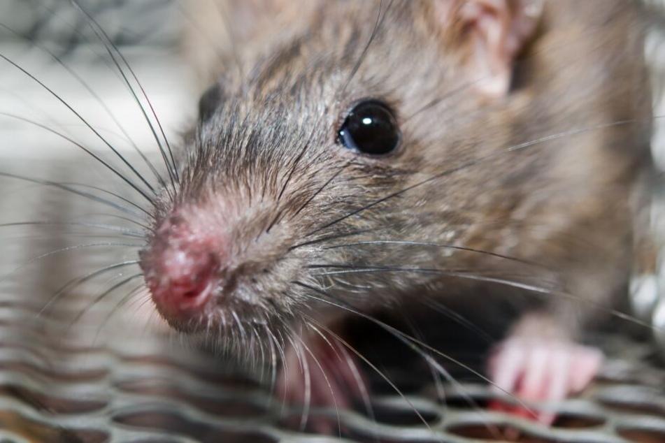 Die Mäuse sausen offen durch Büros (Symbolbild).
