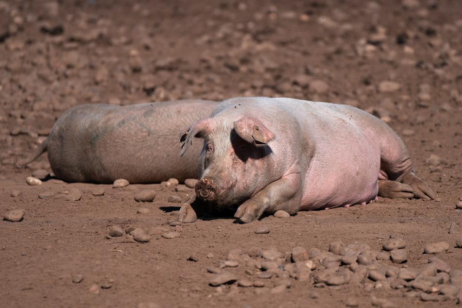 Schweine auf einem Bauernhof in Staffordshire. Um den Stau auf Bauernhöfen zu lösen, sollen 1000 Visa für ausländische Schlachtmeister vergeben werden.