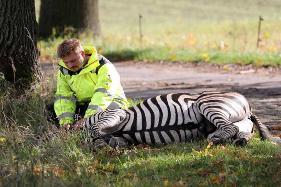 Zirkus-Dompteur Angelo Madel kniet neben dem toten Zebra.