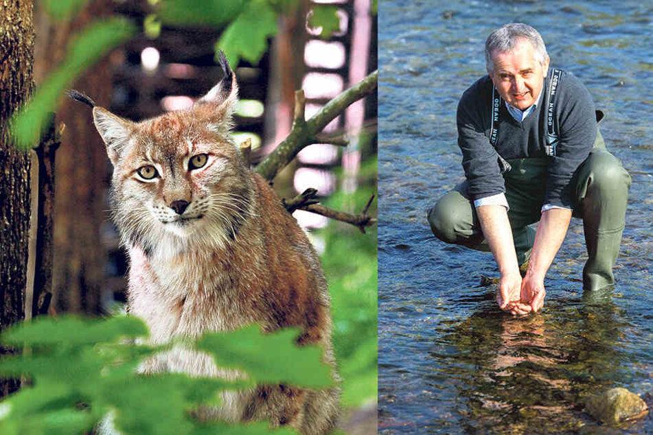 Auch der extrem seltene Luchs steht in Sachsen unter Schutz. Der Freistaat unterstützt ein BUND-Projekt zur Rettung der Wildkatze. Umweltminister Thomas Schmidt (56, CDU) setzt in der Chemnitz Tausende Junglachse aus.