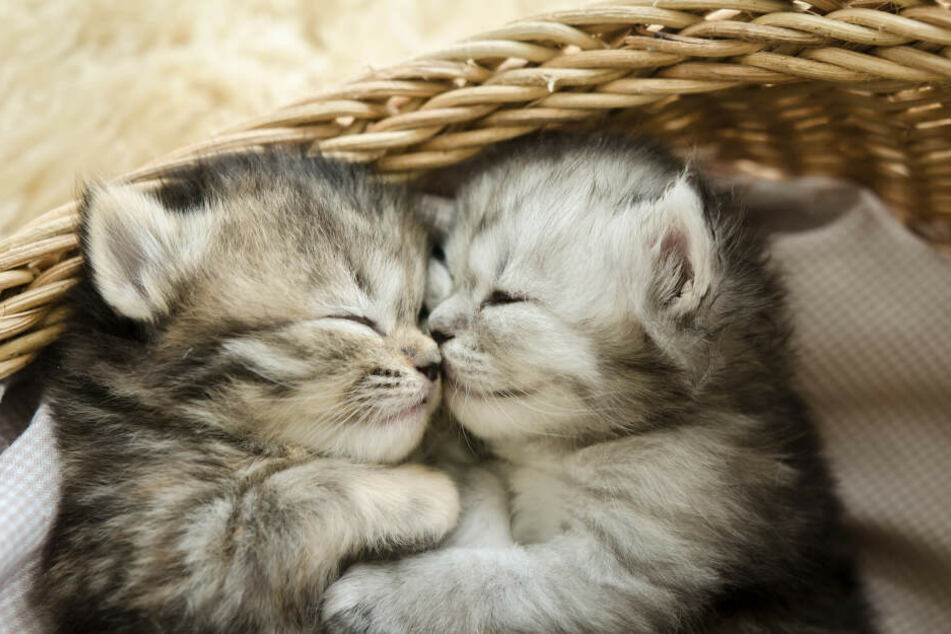 Schon kleine Kätzchen trainieren ihr Sozialverhalten.