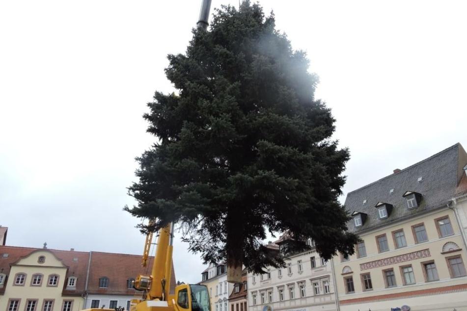 Baum am Haken: Grimma hat nun seinen Weihnachtsbaum.