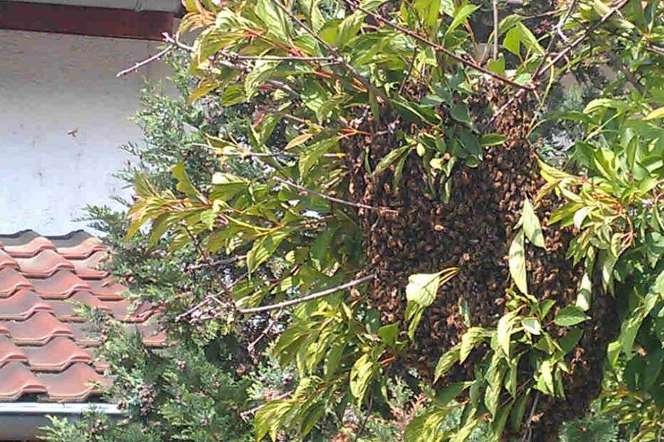 Diesen Baum hatten sich die Bienen ausgesucht, um eine Pause zu machen.