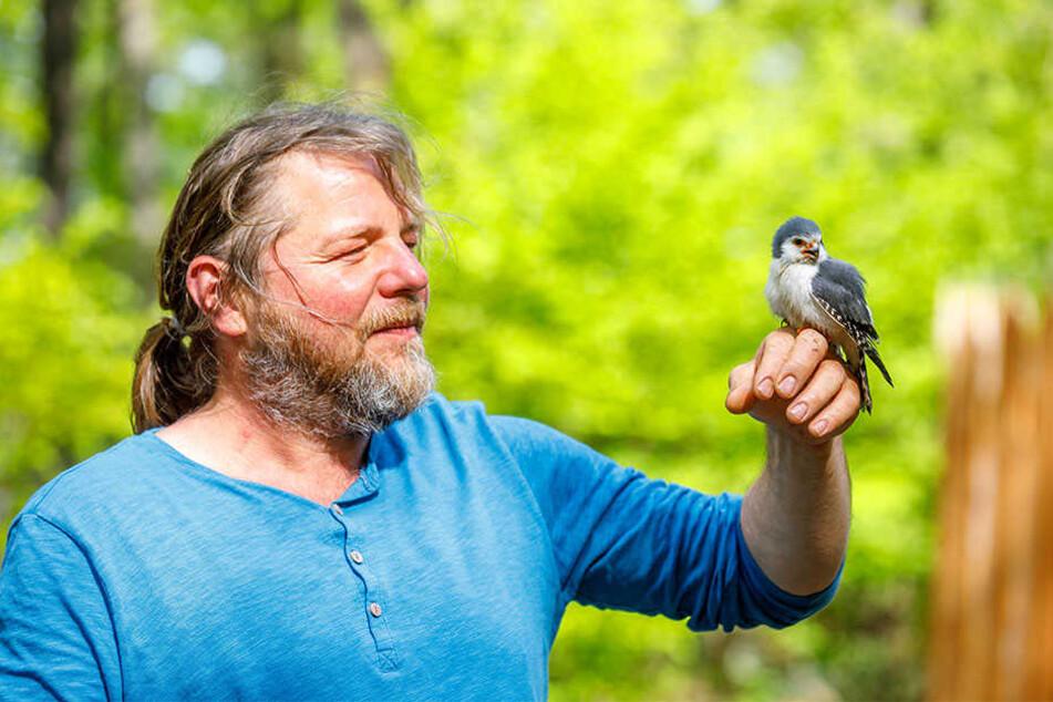 Falkner Hans-Peter Schaaf hört im Jagdfalkenhof seinem Zwerg-Falken Pieps beim Gezwitscher zu.