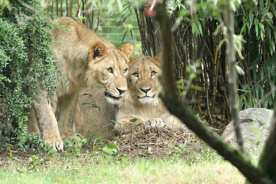 Die Löwen Majo undMotshegetsi sind am Donnerstagmorgen aus ihrem Gehege in Leipzig ausgebrochen. Nun ist einer von ihnen tot.