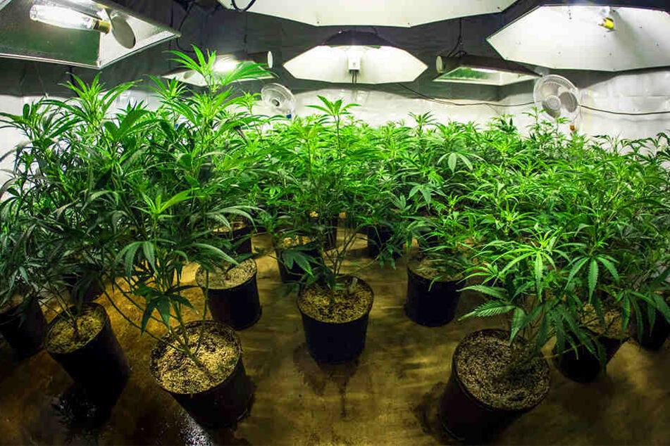 15 Marihuana-Pflanzen wurden von einer UV-Lampe in dem Keller des 48-Jährigen bestrahlt. (Symbolbild)