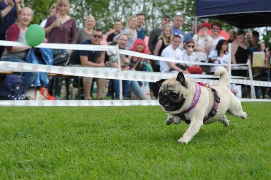Die Mopsrennen waren immer sehr beliebt und gut besucht.