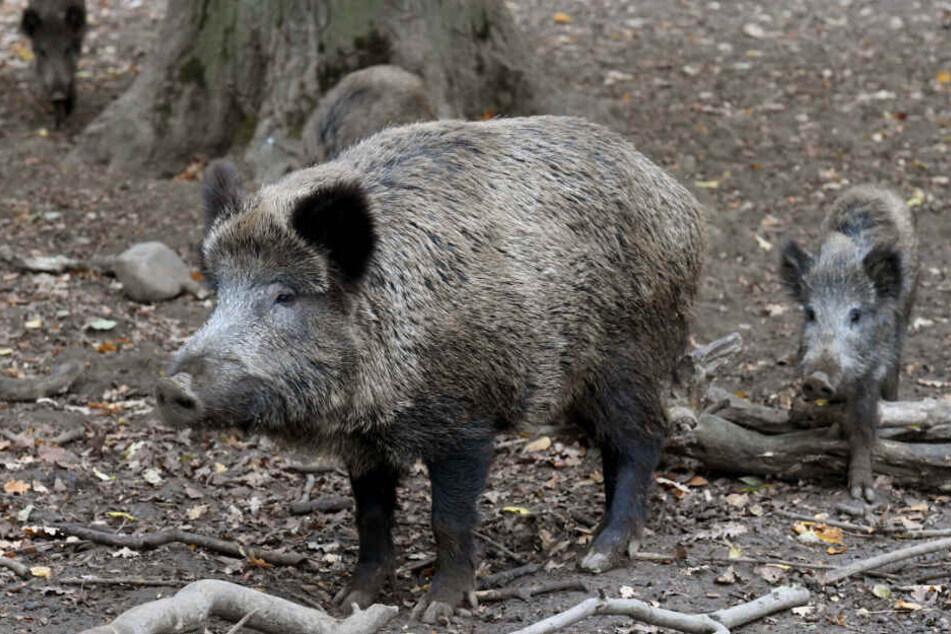 Ein paar Wildschweine haben in einem italienischen Wald ein Kokain-Versteck ausgehoben.