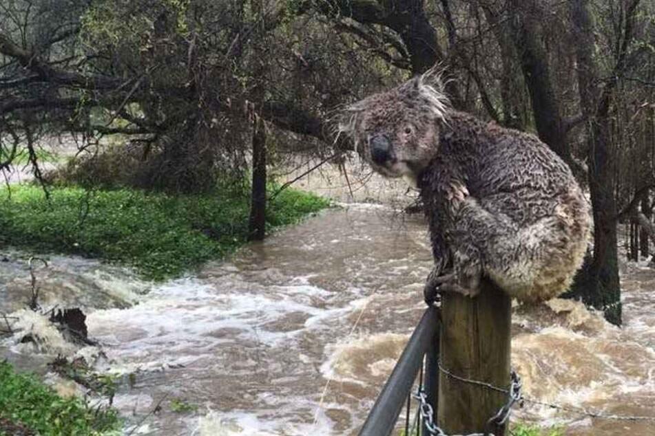 Vor Flut auf Zaun geflohen: Trauriger Koala bewegt das Netz