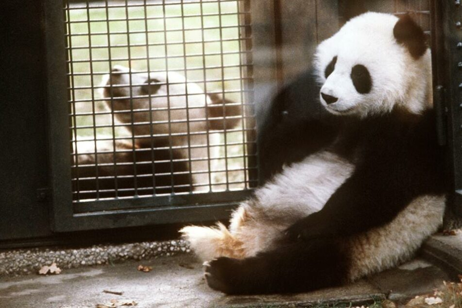 Bald soll ein Pandapärchen in den Berliner Zoo ziehen (Symbolfoto).