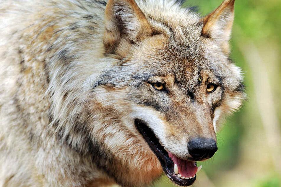 Haben in Thüringen wieder Wölfe Schafe gerissen?