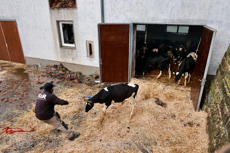 Nur mit viel Zugkraft bewegt sich eine der Kühe überhaupt.