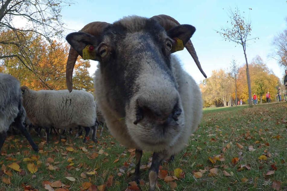 Schafe und Ziegen werden jetzt mit einer Prämie belohnt.