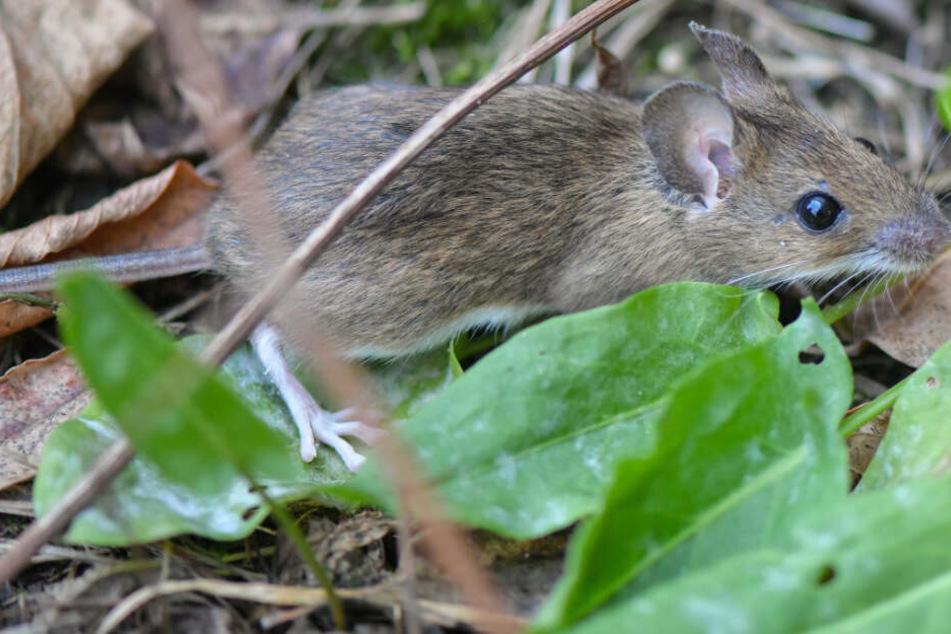 Stuttgart: Mäuse gelten als Plage, doch manche Arten sind vom Aussterben bedroht