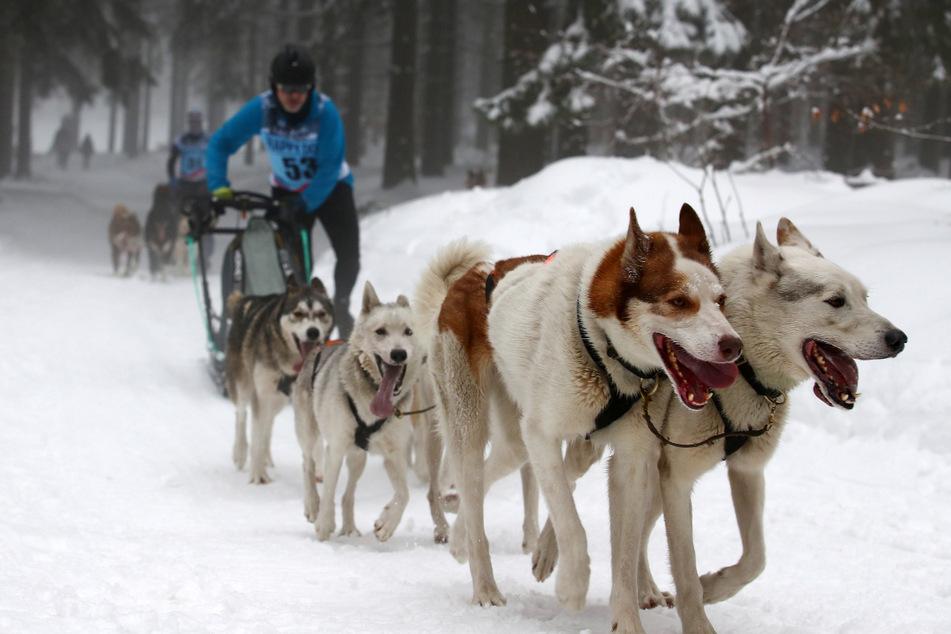 Ein Schlittenhundeführer ist mit seinem Gespann bei einem Schlittenhunde-Rennen 2019 im Thüringer Frauenwald unterwegs. (Archiv)