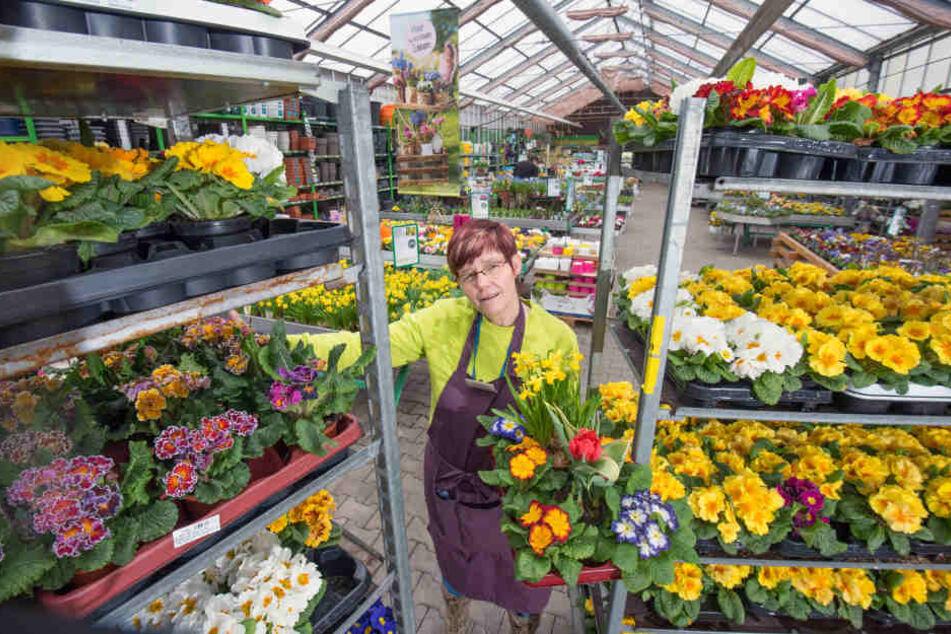 Trotz wetterfester Erzgebirgs-Gewächse: Heike Wolfram (53) vom Gartenfachmarkt Richter mit ihren Ladenhütern.