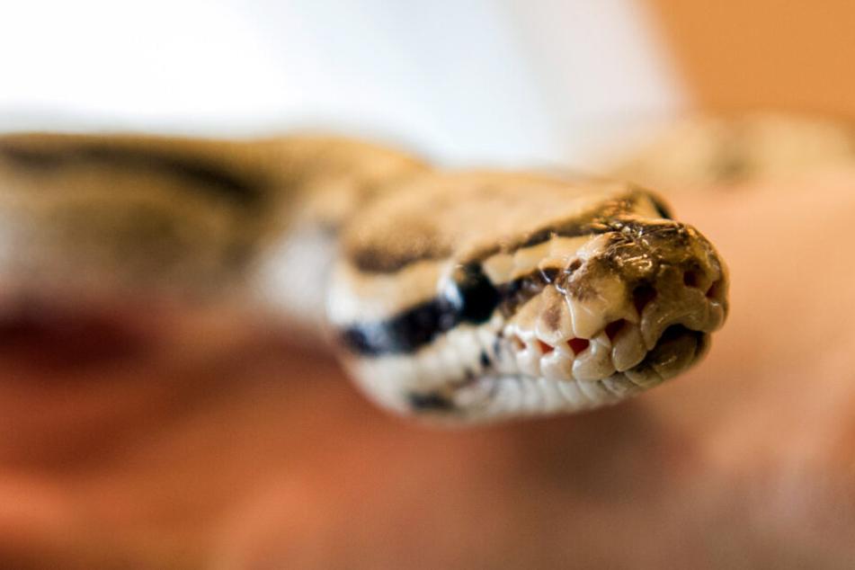 Über zwei Meter lange Python mitten in Gotha gefunden