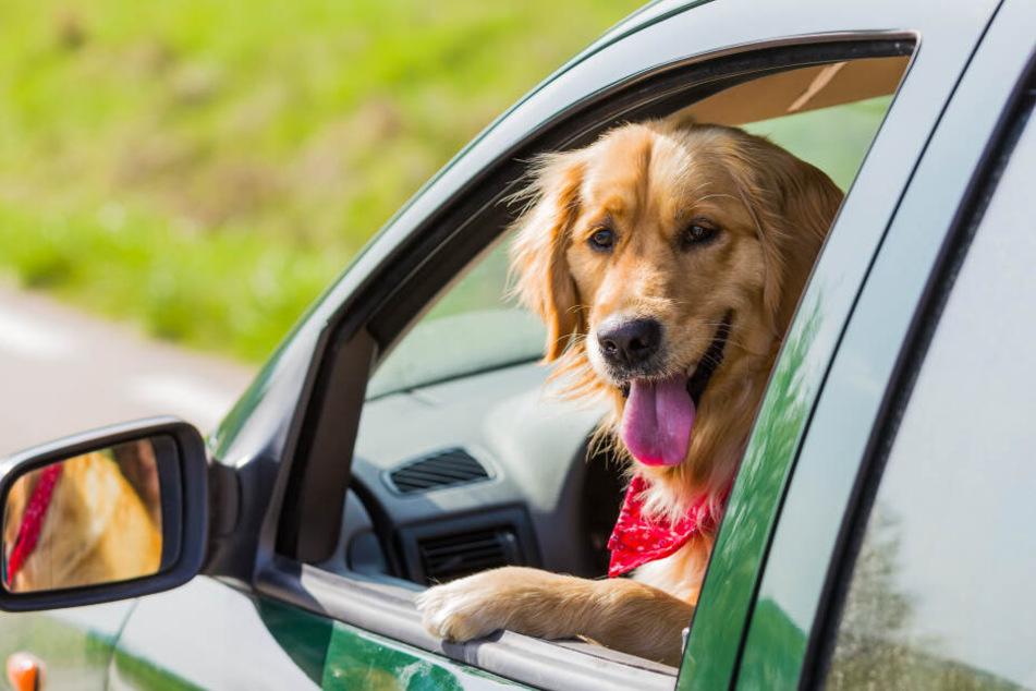 Deshalb fahren Hunde nicht gerne mit dem Auto!