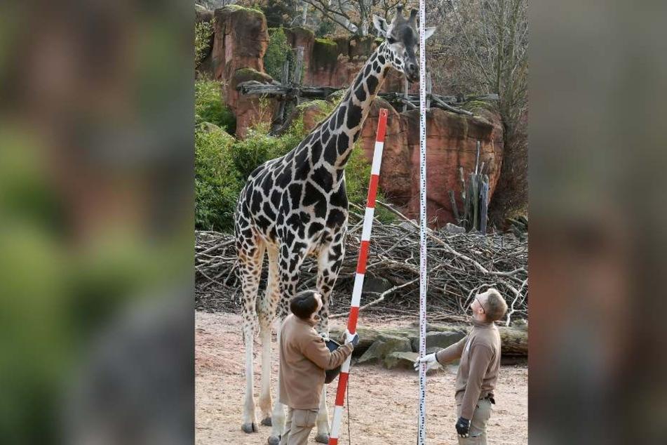 Die Giraffe Niobe (links) ist mit mehr als vier Metern das größte Tier im ganzen Zoo.