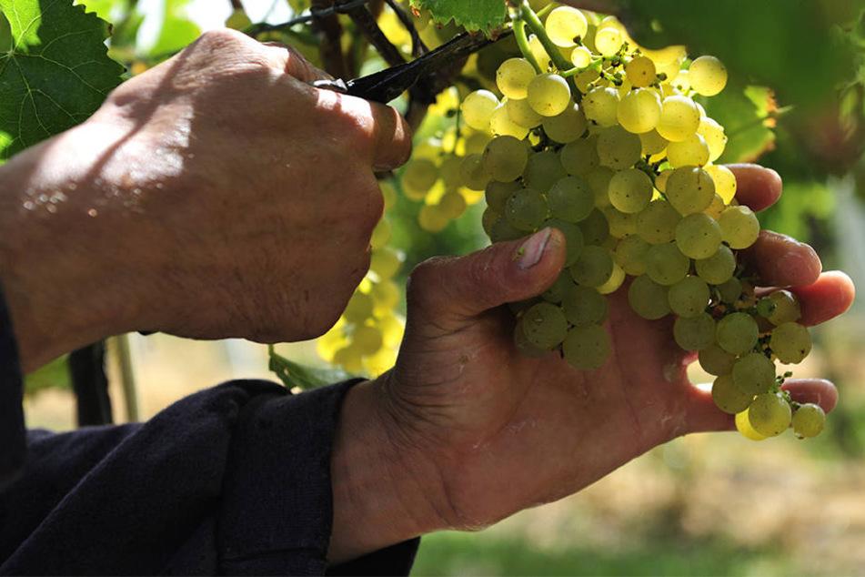Im Weinberg geht es heiß her, denn nur die besten Trauben sollen in den Eimer (Symbolbild).