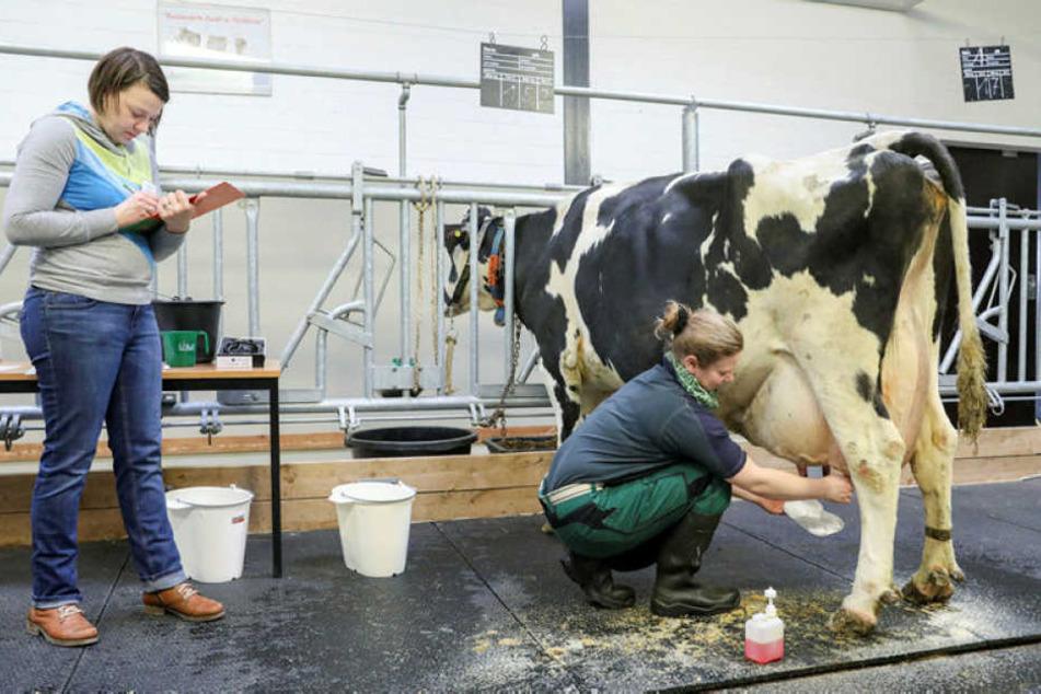 Susan Morgenstern, angehende Tierwirtin aus dem Erzgebirgskreis, zapft am Kuheuter etwas Milch für eine Zellprobe. Die Prüferin Christel Fliedner macht sich dabei Notizen.