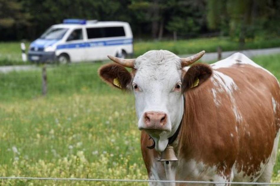 Ein 55-Jähriger aus Australien verging sich an einem Jungen, ließ ihn Sex mit einer Kuh haben und sah dabei zu (Symbolbild).