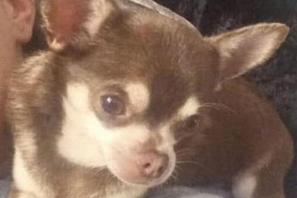 """Der süße Mini-Chihuahua """"Gizmo"""" ist spurlos verschwunden."""